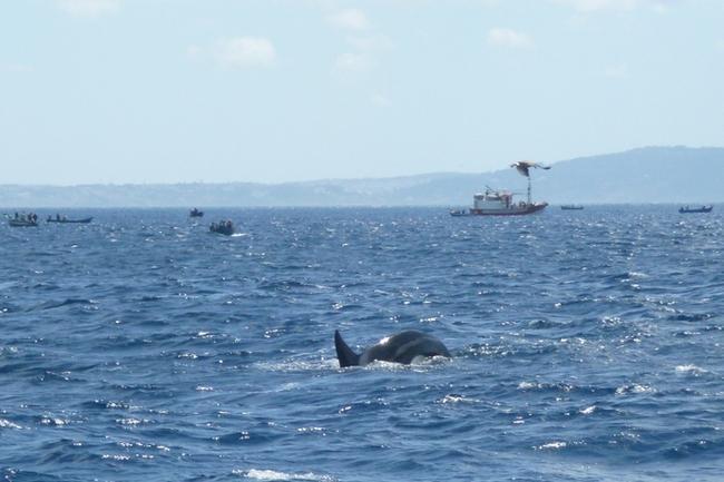 Тарифа. Охота на тунца. Кто проворнее - марокканские рыбаки или касатки ?