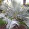 белая пальма в Сан Ремо