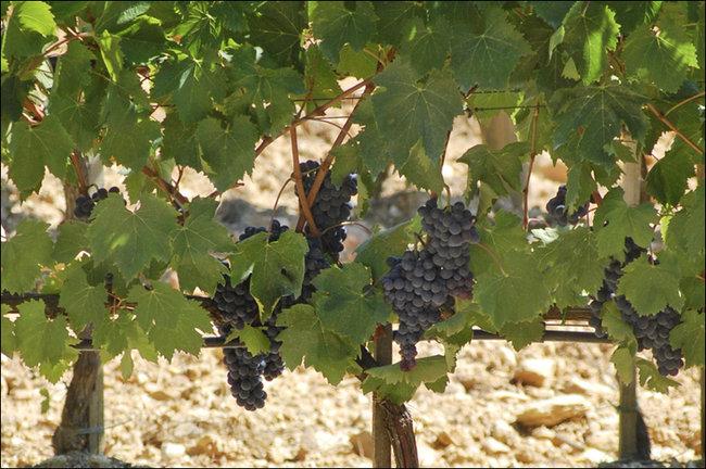 Как выращивать виноград в кировской области