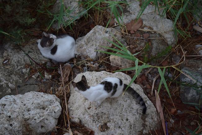 Ларнакские кошки