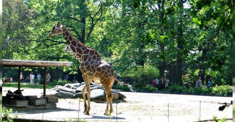 Любопытный жираф