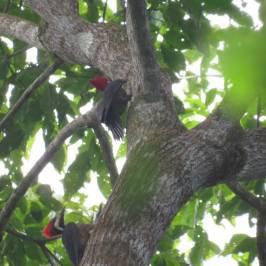 Birding Pipeline Panama