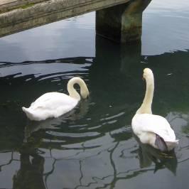 Парк с лебедями в Новом Афоне
