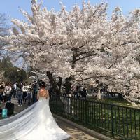Qingdao Zhongshan Park Cherry Blossom Fair