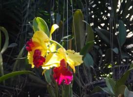 Mae Ram Orchid