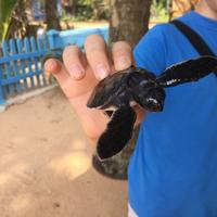 Induruwa Sea Turtle Conservation Project & Sea Turtle Information Center