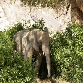 Dessert Elephants Conservation - Kunene Region