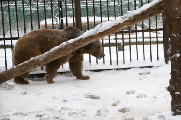 Медведь на погулке