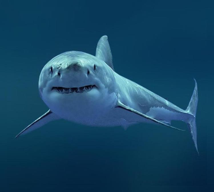 Австралия: Акул становится меньше, но они стали агрессивнее
